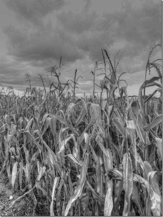 Quinte West,corn,field,farming,fall