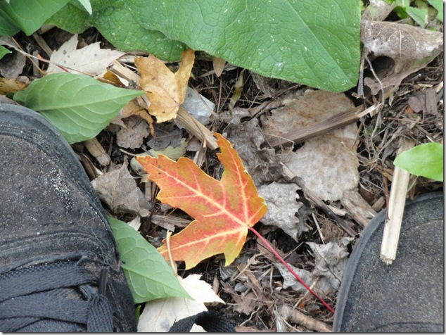 fall,Canada,maple leaf,life,outdoors,Ontario,Nature