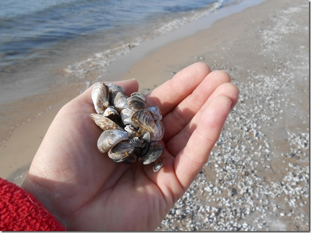 Dreissena polymorpha,Zebra mussel,lake Ontario,North Beach Provincial park,Prince Edward County,k12,education