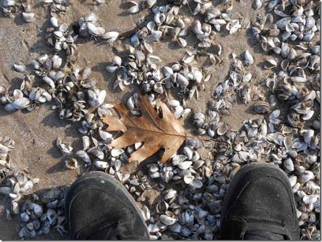 Dreissena polymorpha,Zebra mussel,lake Ontario,North Beach Provincial park,Prince Edward County,k12,education
