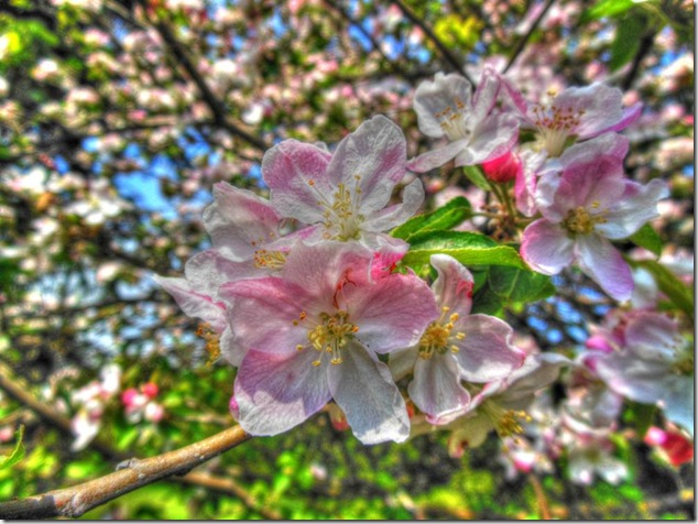 beauty,nature,blossoms,Saxe Point